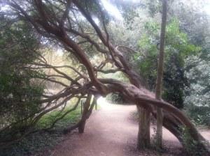 Roehampton Uni a Lime tree I think????